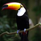 Toucan by Wayne Gerard Trotman