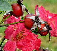 rosehips by betty porteus