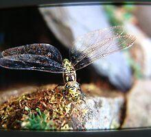 Dragonfly by TREVOR34