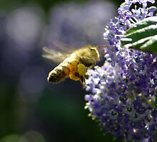 Busy Bee by BugHunter