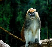Patas Monkey  by Landscapes Mainly .