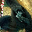 Siamang Monkey by Landscapes Mainly .