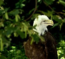 American Bald Eagle by Landscapes Mainly .