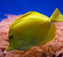 Yellow Tang by Chris Tait