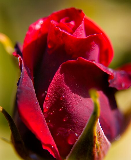 Red Rose by Geoff Carpenter
