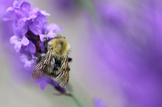 Bee on Lavender. by Ellen van Deelen