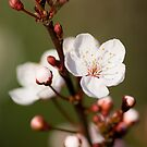 Cherry Blossoms by Jon Tait