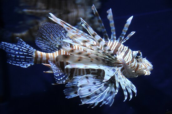 Lionfish by Anne Smyth