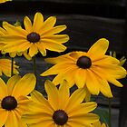 Brown-eyed Susans by bcollie