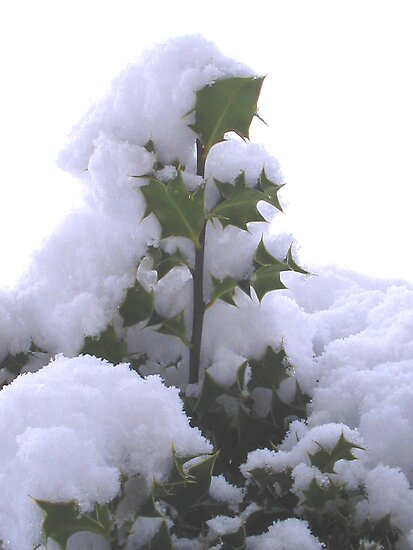 snowy holly by DUNCAN DAVIE