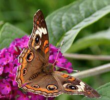 'Buckeye Butterfly on Buddlea' by Scott Bricker
