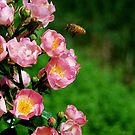 Honeybee Visiting Roses by Catherine Sherman
