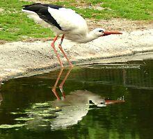 Drinking stork by steppeland