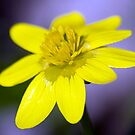 Yellow Celendines by Chris Tait