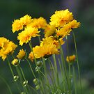 *COREOPSIS* by Van Coleman