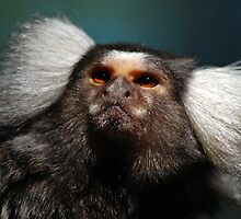 Common Marmoset by Steve  Liptrot