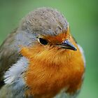 European Robin by DanRedrup