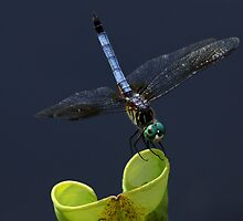 Blue Dasher Dragon Fly by John Absher