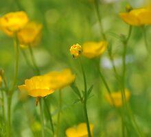 Field of Buttercups  by Nancy Barrett