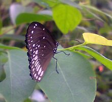 Butterfly, butterfly in kerala, kerala nature by O.M. Ganesh
