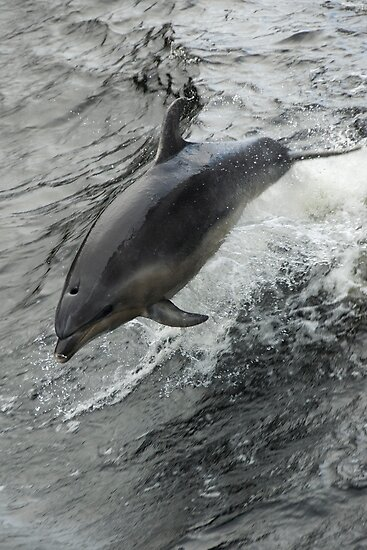Dolphin by Werner Padarin