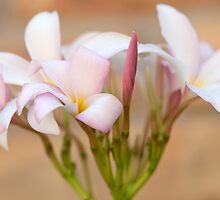 Thornton Symphony Plumeria by Bonnie T.  Barry