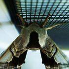 Big moth by Mirafaye