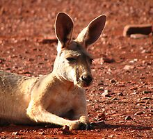 Red Kangaroo by Caroline Scott