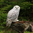 The Snowy Owl by Brian Carey