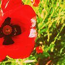 Poppy by MRPhotography