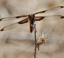 Weedy Field's Brown Dragonfly by Lenny La Rue, IPA