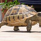 Baby Tortoise ....Hup two three four..... by taiche