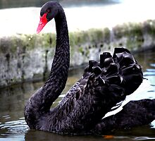 Black Swan by dspics