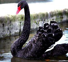 Black Swan by dspics