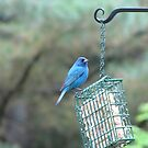 Indigo Bunting has returned! by maxy