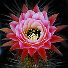 Pink Cactus Bloom by Ron Hannah