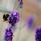Bee Landing on Lavender by Lynn Ede