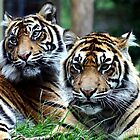 Sumatran Tigers by Wayne Gerard Trotman