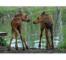 Munchkin Moose Photographic Print