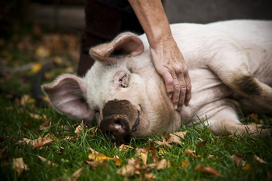 Playful Pig by MagnusAgren