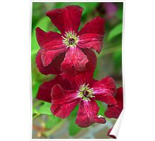 Clematis In Red Poster