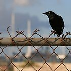 bird on fence by Kent Tisher
