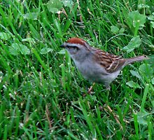 The Bird In The Yard (Chipping Sparrow) by Linda Miller Gesualdo