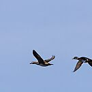 Wood Duck Flight #4 by lloydsjourney