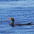 Double Crested Cormorant by lloydsjourney
