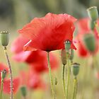 Photography of red Poppies by Mel-D