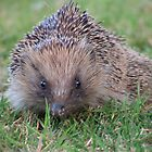 Hedgehog by lissygrace