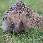 Hedgehog by lissygrace