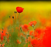 Tall Poppy by Chris McIlreavy