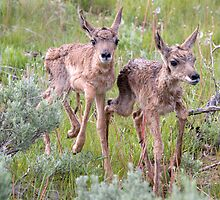 Pronghorn Twins Romping by A.M. Ruttle